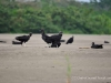 Vultures in the Amazon Jungle