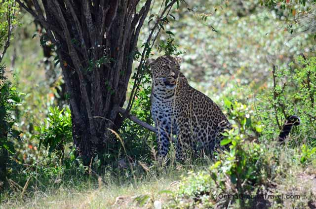 African Safari Leopard in Kenya