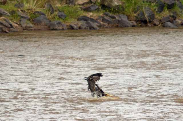 Wildebeest caught by Crocodile in the Mara River of Kenya