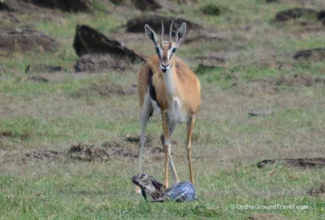 Birth of a Baby Gazalle on Kenya Safari from Trips Around the World