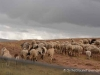 A herd of cattle grazing in the Sacred Valley, Peru from trips around the world
