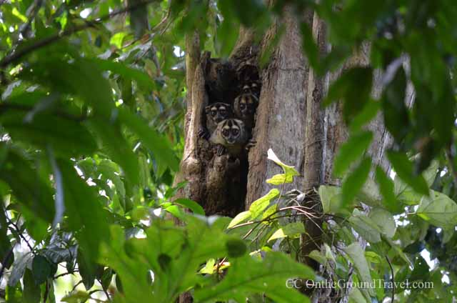Owl Monkeys in the Amazon jungle from trips around the world